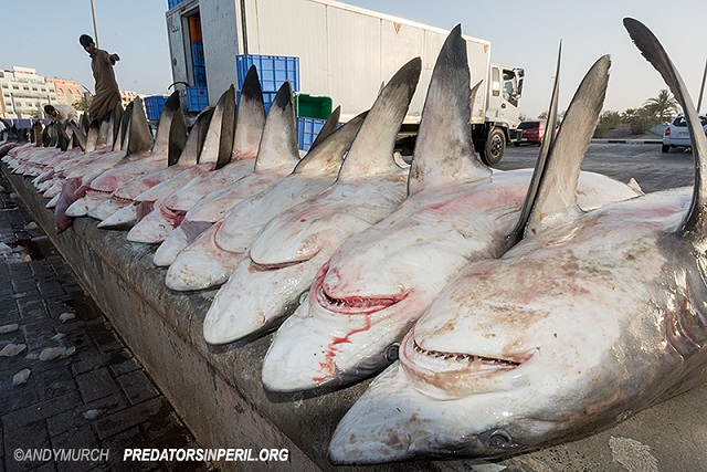 Shark Carcasses Dubai 017